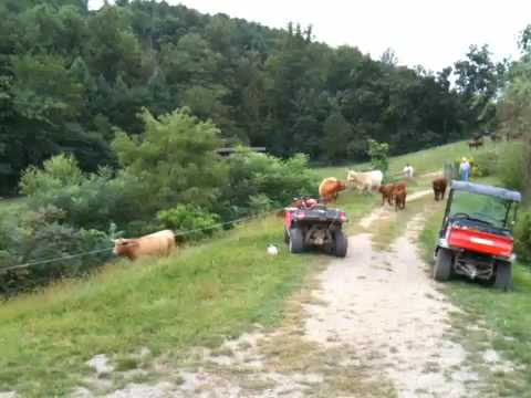 Moving the cows at Glasbern