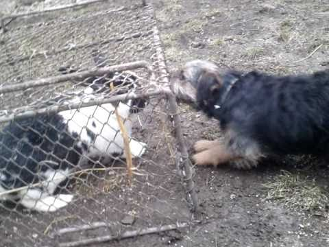 Border teriér a králík