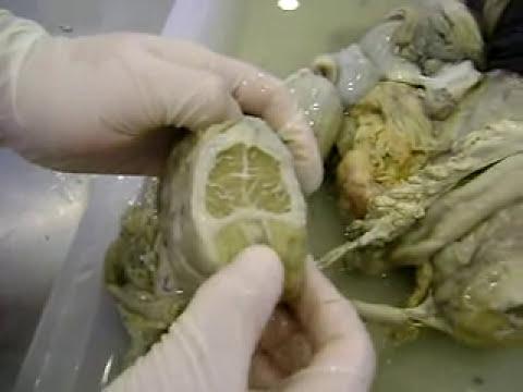 Reproductor Bovino Macho [Anatomía Veterinaria]
