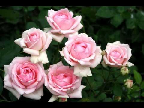 Розовые розы Светке Соколовой