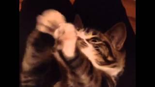 【小人症猫】マンチカン猫エルフィーちゃんが超絶可愛い!