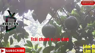 Trái chanh vườn xinh ( Lemonade in the garden ) Lâm Bich Thọ TV Người Xã Nha Bich LBT TV