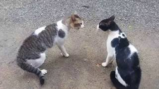 Cats Fighting with sound - Exclusive Video (Play with full sound)