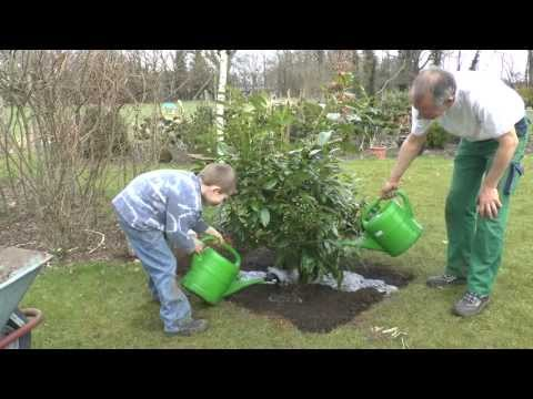 Sträucher Richtig Pflanzen. Kleiner Profi Zeigt, Wie Es Geht :)