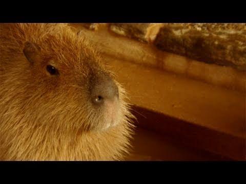 Capybara hot spa at Nagasaki Bio Park (長崎バイオパークのカピバラ温泉いろいろ)