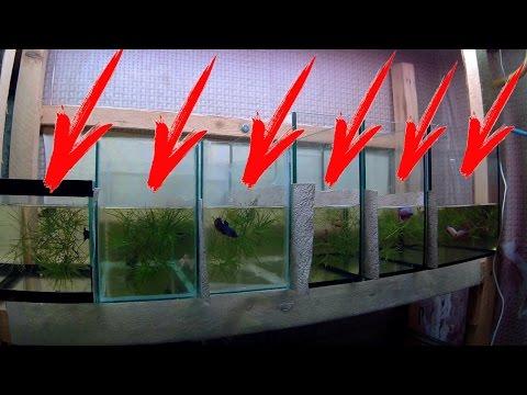 Разведение петушка в домашних условиях 756