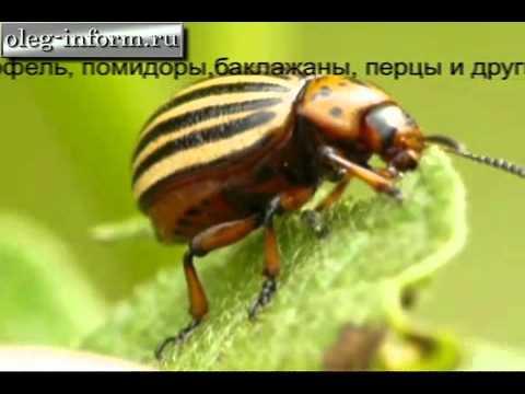 Борьба с Колорадским жуком на oleg-inform.ru