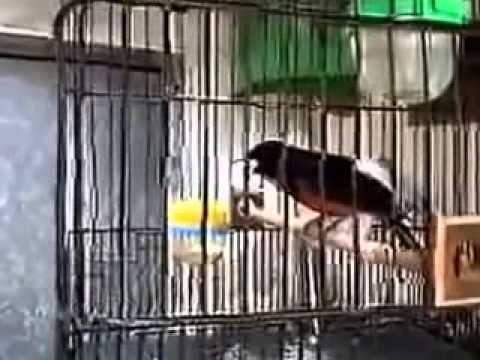 Xnxx Suara Kicau Burung Murai Batu Juara Lomba Nasional video