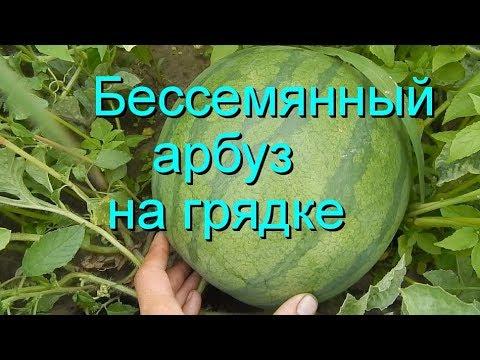 Арбуз Фенвэй F1 семена арбуза бессемянного Seminis