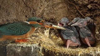 Robert E Fuller: Amazing footage of kingfishers inside their nest