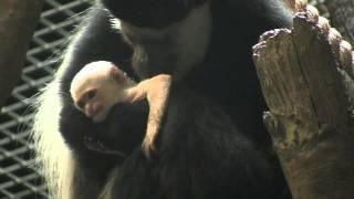 Colobus Baby Born @ Maryland Zoo