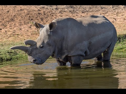 Last Hope For Critically Endangered Rhino Species