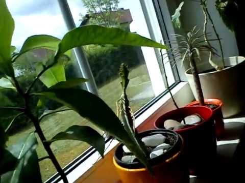 tropische pflanzen und fruchtpflanzen in der wohnung youtube. Black Bedroom Furniture Sets. Home Design Ideas