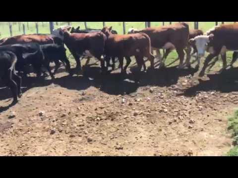 105 Vacas De Invernada En Tacuarembó