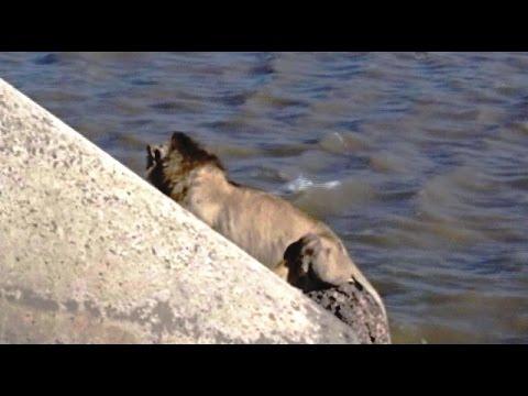 獅子落難記 被人嚇到跳海求生【大千世界】獅子|印度|跳海|動物奇觀|Jafrabad Port