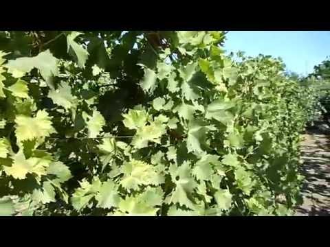 Работы и уход за виноградником в сентябре – только самое необходимое!