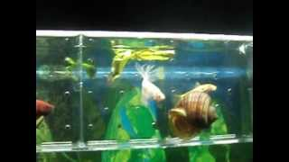 beta fish and algae eaters. & beta balıkları ve yosun yiyiciler. part1