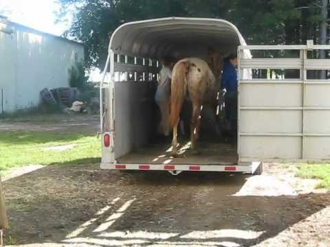 ADOPTED! Bo trailer loading - Appaloosa gelding