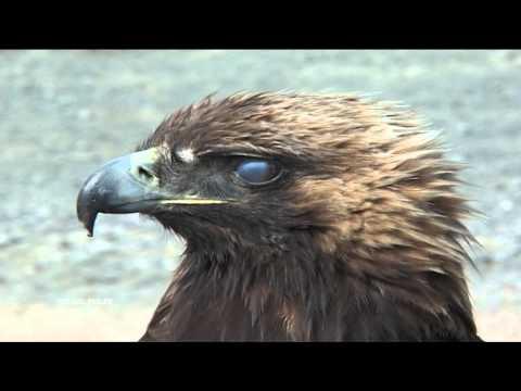 Golden Eagle Attacks A Boy