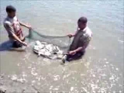 Sampling Practices Of Tilapia In Earthen Ponds  Egypt