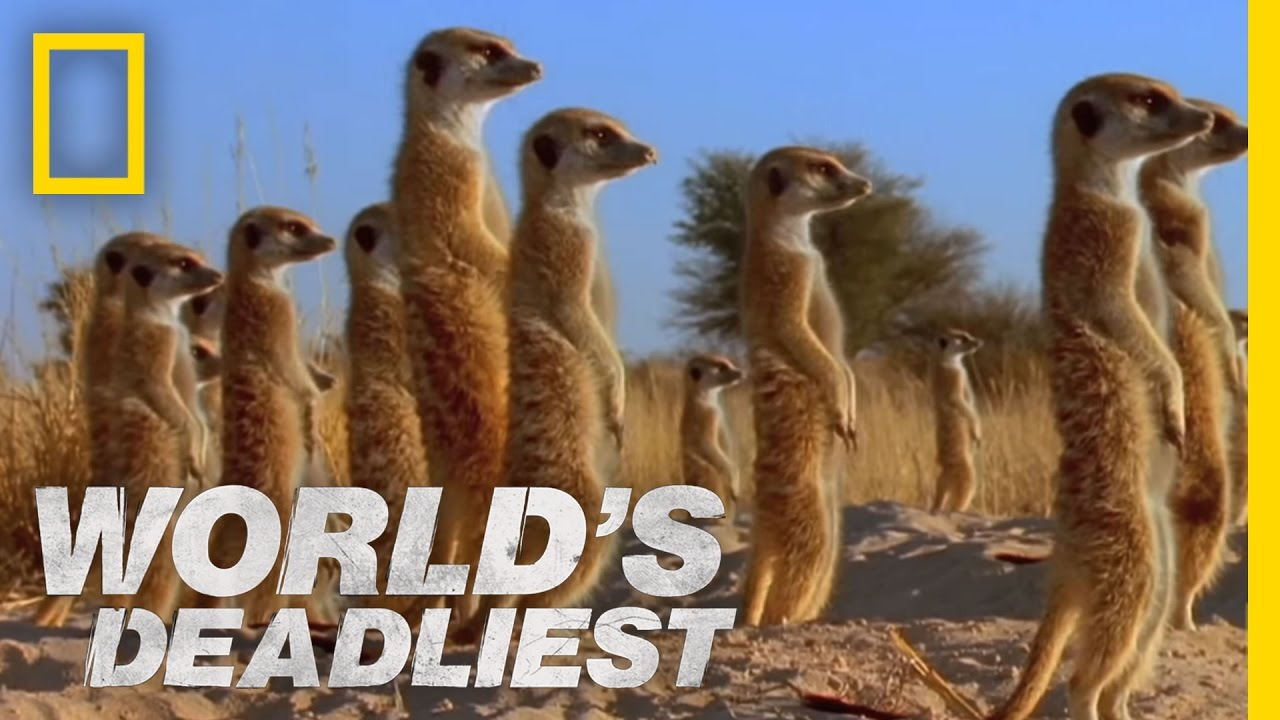 World 39 s deadliest meerkats 39 mob rule youtube for Life of pi family