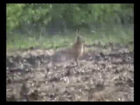 Зайцы охотятся на лис