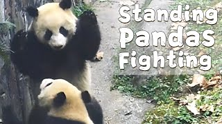 Standing Pandas Fighting Each Other | iPanda