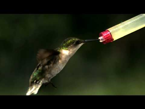 ... A hummingbird flaps its wings up to 70 times per second; its heart rate ...