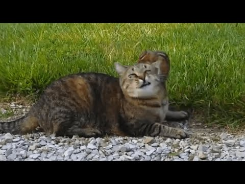 Chipmunk Stands Up Against Cat | Alvin Gets Away