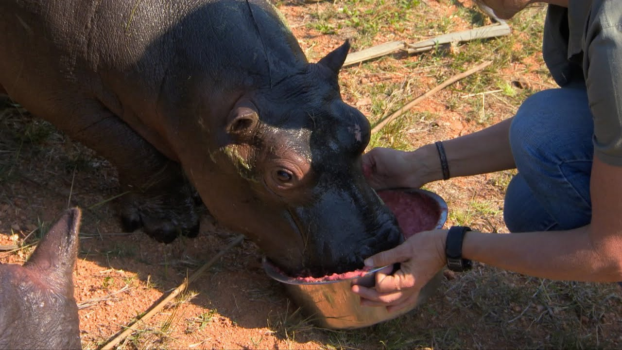 Baby hippo drinks a smoothie - Nature's Miracle Orphans: Series 2 Episode 4 Preview - BBC One