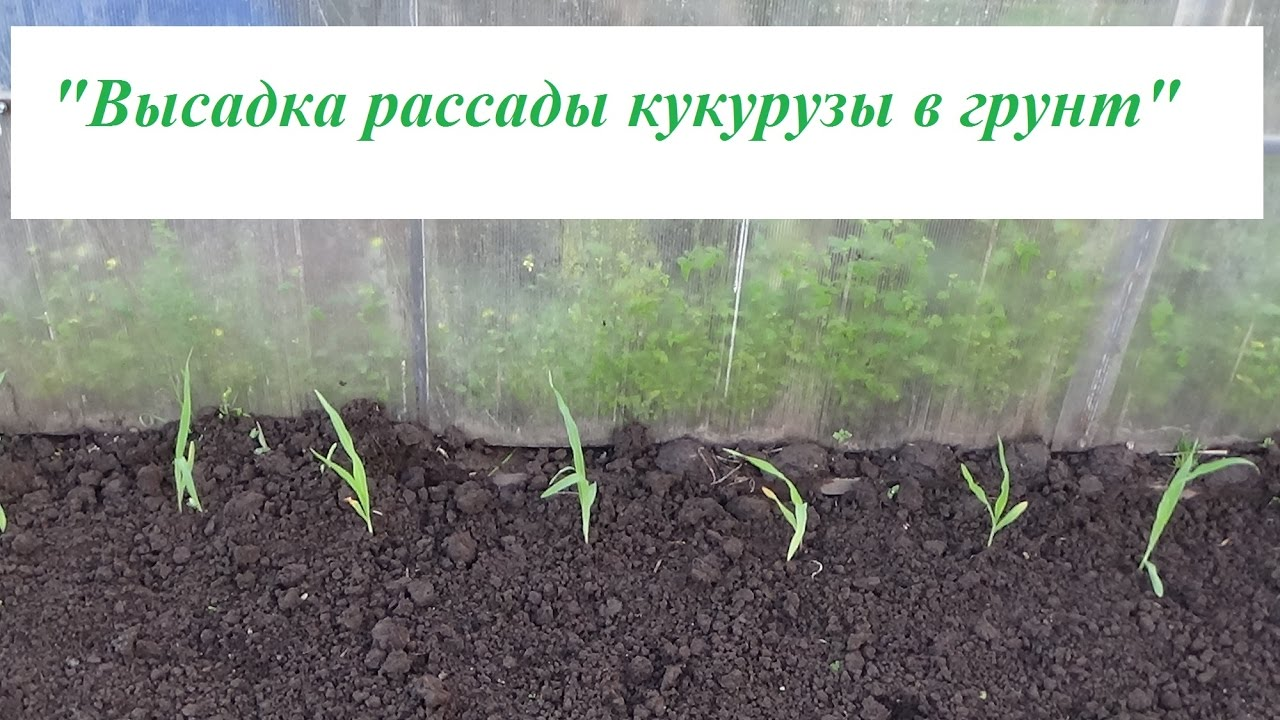Как посадить рассаду кукурузы 21