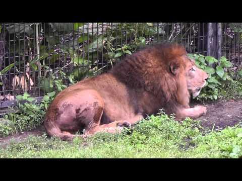 2011年7月4日 旭山動物園 ライオンの鳴き交わし