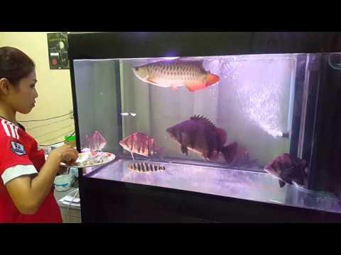 ให้อาหารปลามังกร High Back กับเสือตอ