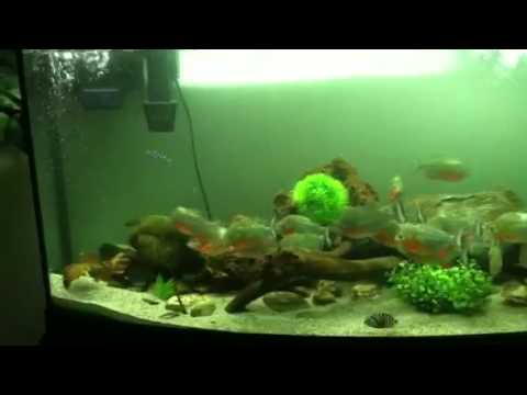 Facts About Red Bellied Piranhas Red Belly Piranha Habitat