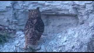 Beleef de Lente, Oehoe / Eurasian Eagle Owl (Bubo bubo) 27th March 2013 19.06 Dad waits for Mom