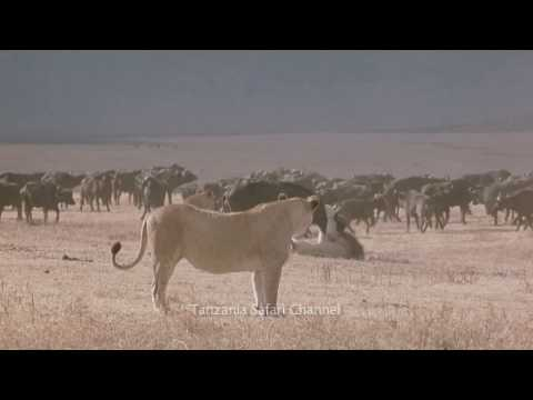 Battle at Kruger! - Lion Buffalo Standoff - in HD