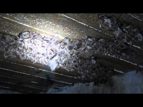 Челядиново. Летучие мыши. Гнездо