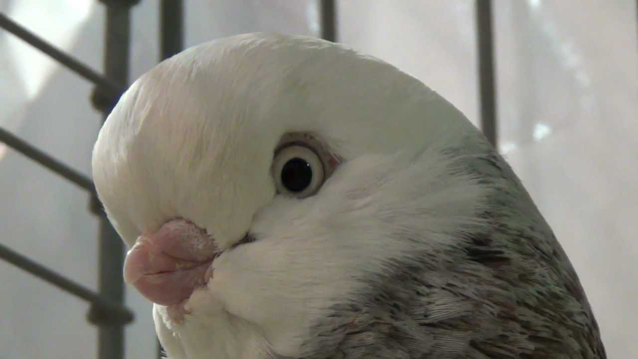 White pigeon face
