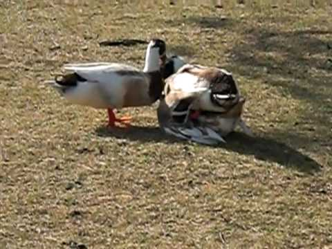 Duck Sex?? O o video