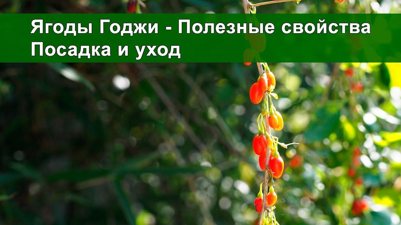 Как вырастить ягоды годжи у себя на участке: практические 35