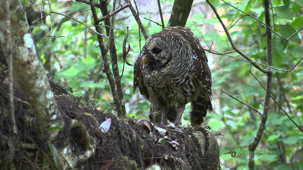 Barred Owl (Strix varia) - Information, Pictures, Sounds ...