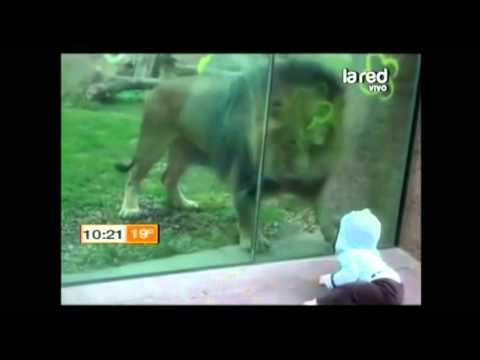 Salfate nos muestra sorprendentes videos de leones que intentan comerse a niños