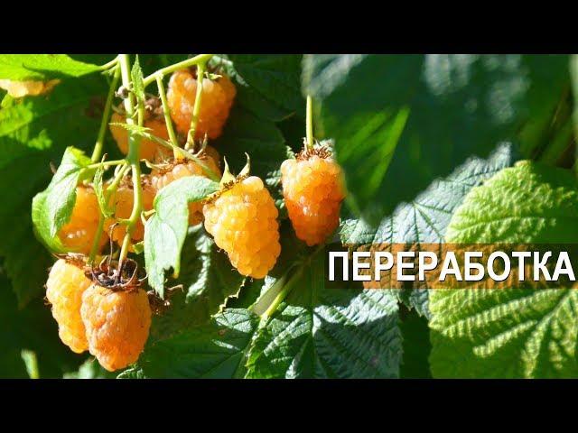 ПЕРЕРАБОТКА ЯГОД. Владимир Седов и Милена Губенко. Тульская ягодная компания