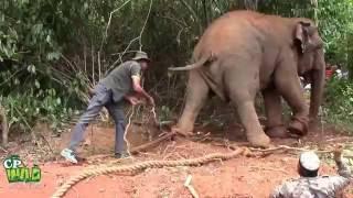 Capturing of an aggressive elephant !