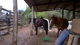 Preparando os cavalos para um passeio