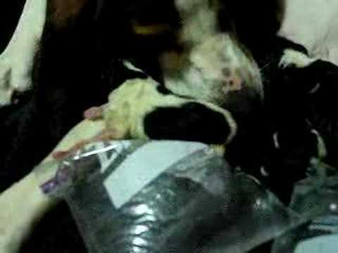 Newborn Treeing Walker Coonhounds Video