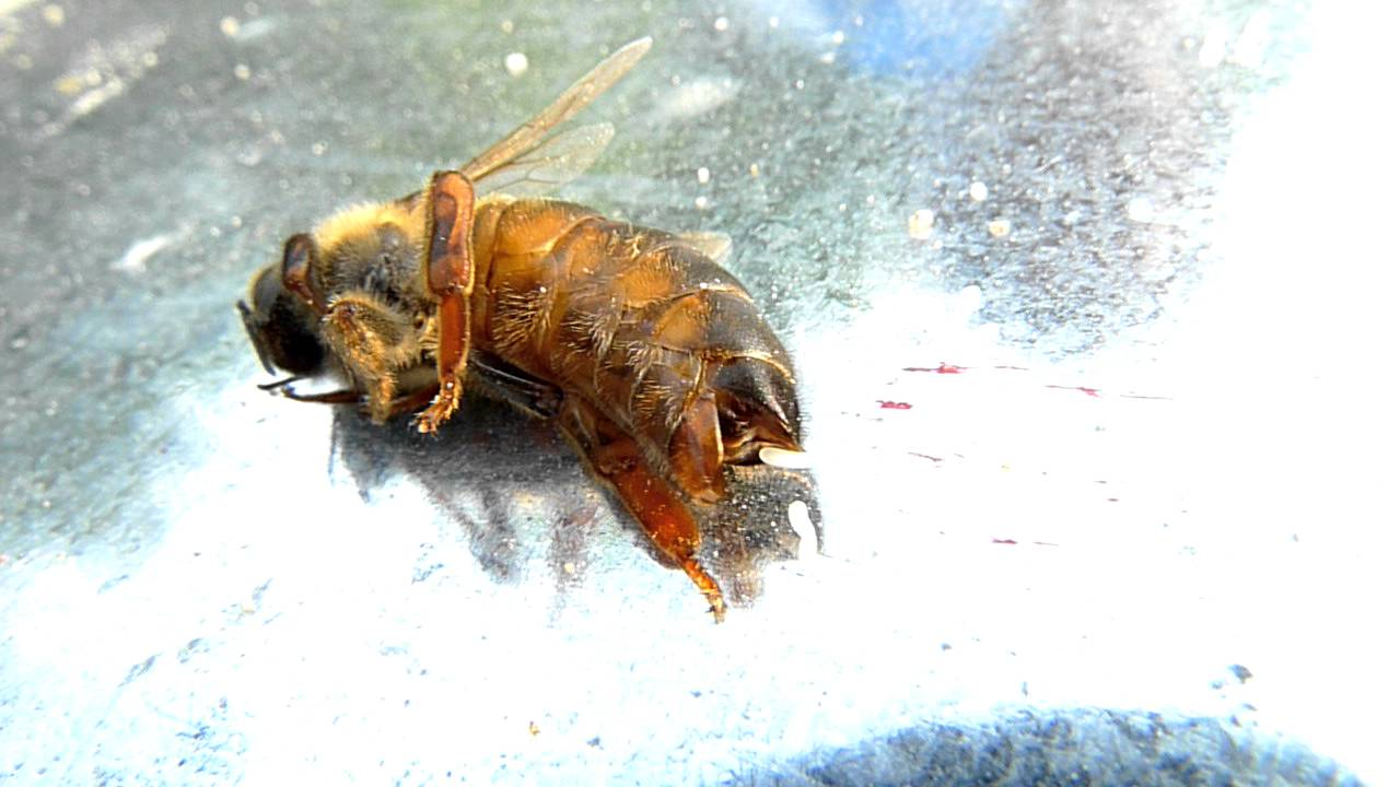 queen bee laying eggs - photo #35