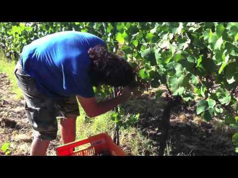 grape harvest with Fattoria Lavacchio