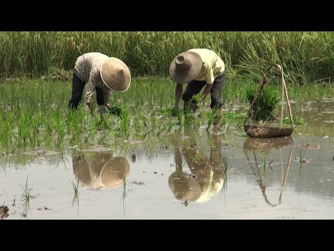 Planting Rice Fields Reflection, China, Asia. Stock Footage