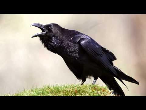 Raven bird face